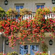 rampicanti da balcone